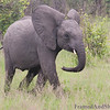 <strong><center><b> Elephant Calf II  </b></center></strong>  Infancy is a fascinating time for all species.  In the case of the elephant life cycle, it is early childhood that is most captivating.  The new-born enters this world at an incredible mass of 77-113 kg, with a height of about 91 cm at the shoulder, and unbelievably may consume 11.4 litres of milk a day.