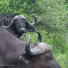 <strong><center><b>Cape buffalo II</b></center></strong>Buffaloes can live in herds of a few hundred, but have been known to congregate in thousands in the Serengeti during the rainy season.