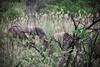 Fighting Elephants in the bush