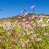 Cosmos wildflowers, Free State