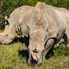 White Rhino