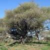 Polkwane GR SA   Umbella Thorn