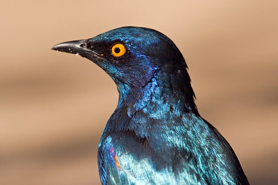 Glossy starling, Letaba area, Kruger Nat'l Park