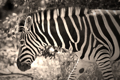 Burchell's zebra, Kruger Nat'l Park