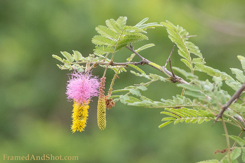 <strong><center><b> Kalahari Christmas tree</b></center></strong> Dichrostachys cinerea, known as Sicklebush, Bell mimosa, Chinese lantern tree or Kalahari Christmas tree (South Africa). Fruit and seeds that grow on Dichrostachys cinerea are edible. Cattle and game such as giraffe, buffalo, kudu, hartebeest, and antelopes feed on the juicy pods that fall to the ground.