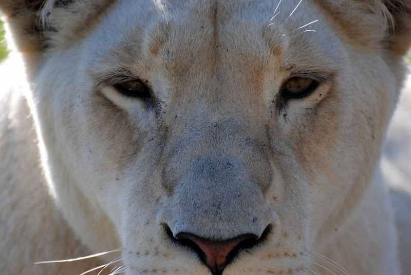 Lion stare.  Seaview Lion Park, near Port Elizabeth, South Africa
