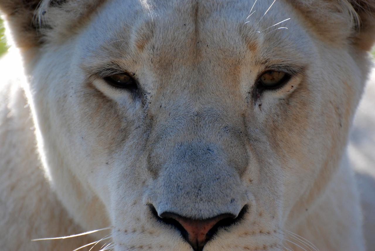 Lion stare.  Seaview Lion Park, near Port Elizabeth, South Africa