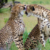 Cheetahs in South Africa