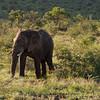 Bull Elephant 1