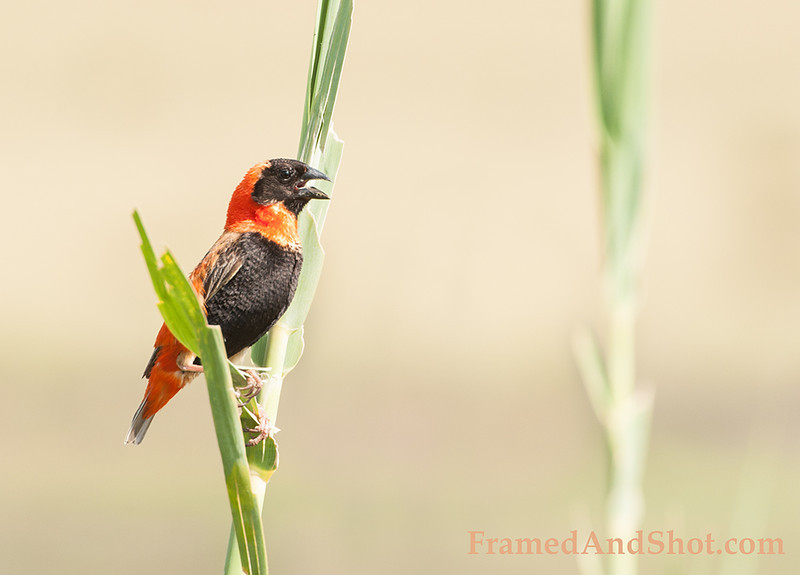 <strong><center><b>Red Bishop  </b></center></strong> Red Bishop (Euplectes orix) is common in wetlands and grassland in Africa south of the Equator.