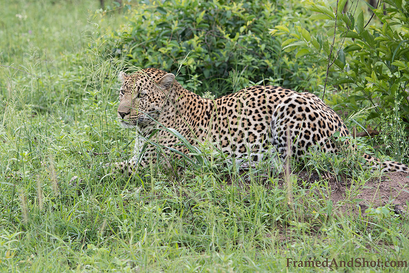 <strong><center><b> Leopard I </b></center></strong> Leopards show a great diversity in coat color and rosettes patterns. In general, the coat color varies from pale yellow to deep gold or tawny, and is patterned with black rosettes. The head, lower limbs and belly are spotted with solid black. Coat color and patterning are broadly associated with habitat type.