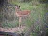 Baby Kudu - Marataba, South Africa