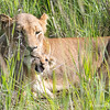 <strong><center><b> Roar!! Cuteness overload!  </b></center></strong> We hope this three little ones will make it. Cub mortality is extremely high, with only one in eight surviving to adulthood. The lioness will keep her cubs by herself for the first few weeks, before introducing them to the pride.