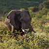 Bull Elephant 3