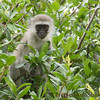 <strong><center><b>Vervet </b></center></strong> The vervet monkey (Chlorocebus pygerythrus), or simply vervet, is an Old World monkey of the family Cercopithecidae native to Africa. The five distinct subspecies can be found mostly throughout Southern Africa, as well as some of the eastern countries. Vervets were transported to the islands of Barbados, Saint Kitts, and Nevis in conjunction with the African slave trade.