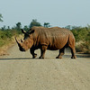 A white rhino crosses the road in Kruger National Park.