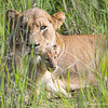 <strong><center><b> Lioness with cubs </b></center></strong> We were lucky enough to go offroad, and got close to a lioness with three cubs, approximately five weeks old. They were hiding in the grass and difficult to spot, but extremely cute!