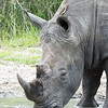 <strong><center><b> White Rhinoceros and Oxpecker I </b></center></strong> The rhinoceros is a large, primitive-looking mammal that in fact dates from the Miocene era millions of years ago. In recent decades rhinos have been relentlessly hunted to the point of near extinction. Since 1970 the world rhino population has declined by 90 percent, with five species remaining in the world today, all of which are endangered