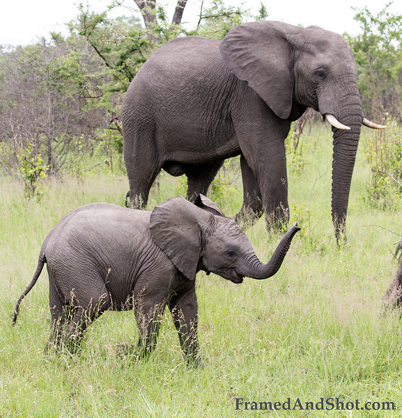 "<strong><center><b>Elephant Calf III  </b></center></strong> The new-born elephant is born with a minimal amount of ""innate"" knowledge. For example,  despite a calf's ""precocious"" nature, he/she  lack the ability to use its trunk with any real skill. Hence as the calf grows and through experience, it will understand what it can do with its trunk (paralleling a human baby learning how to walk). The young calf will within time comprehend that it is to be used as an extra hand to pick up items, to scratch with, to drink with"