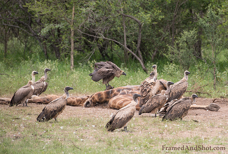 <strong><center><b> Vulture and Giraffe I </b></center></strong> A group of vultures is called a wake, committee, venue, kettle, or volt. The term kettle refers to vultures in flight, while committee, volt, and venue refer to vultures resting in trees. Wake is reserved for a group of vultures that are feeding.