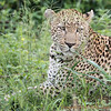 <strong><center><b>Well adapted</b></center></strong> The leopard consumes virtually any animal that it can hunt down and catch. Its habitat ranges from rainforest to desert terrains.