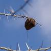 Masked Weaver Nest on Acacia Tree