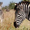 Zebras in Kruger National Park.
