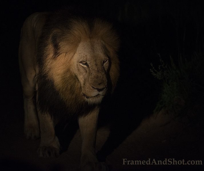<strong><center><b>Hunting in the dark   </b></center></strong> Seeing a big male lion in the dark is a strong and intense experience!