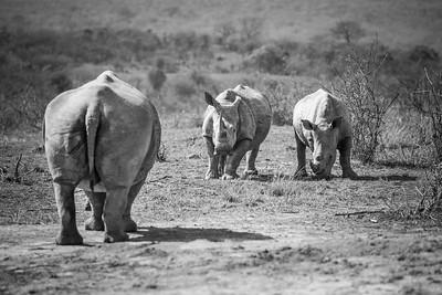 White Rhinos, Kruger National Park