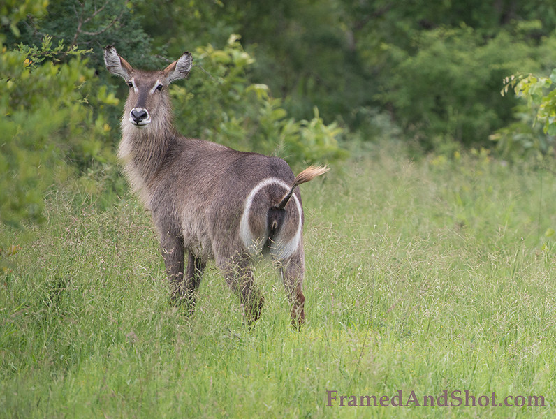 <strong><center><b>Waterbuck</b></center></strong> Waterbuck stand 120 to 136 cm (47 to 54 in) at the shoulder.Males weigh 200–300 kg (440–660 lb) and females 160–200 kg (350–440 lb).
