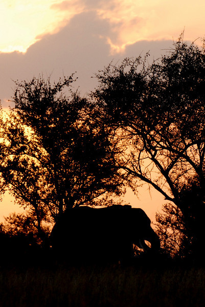 Elephant at sunset. Kruger National Park, South Africa