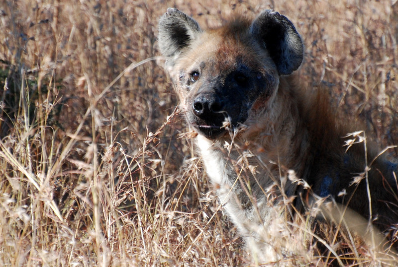 Hyena standing guard over a kill. Hluhluwe-Imfolozi Game Reserve, South Africa