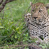 <strong><center><b> Leopard II </b></center></strong> The African Leopard (Panthera pardus pardus) is a leopard subspecies occurring across most of sub-Saharan Africa. In 2008, the IUCN classified leopards as Near Threatened, stating that they may soon qualify for the Vulnerable status due to habitat loss and fragmentation. They are becoming increasingly rare outside protected areas. The trend of the population is decreasing
