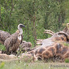 "<strong><center><b> Vulture and Giraffe II </b></center></strong> This species is listed by the IUCN as ""Vulnerable"", the major problems it faces being poisoning, disturbance at breeding colonies and powerline electrocution. The current population is estimated at 8,000."