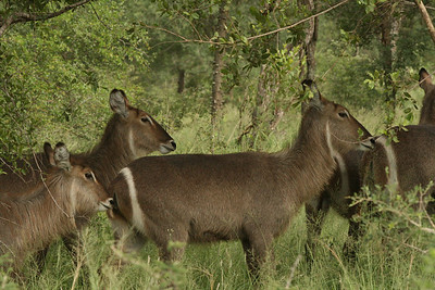 Female waterbucks.