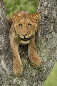 The future Lion King - a cub about 8 months old trying (unsuccessfully) to climb the tree to be with Mom.