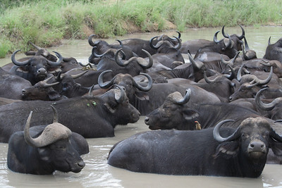 This is how the Cape Buffalo (another of the Big 5) stay cool on a summer day.