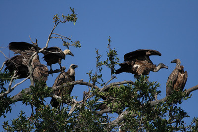 Vultures waiting for the next meal.