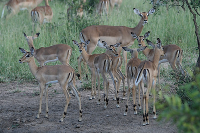 The great thing about visiting during this time of year was seeing all of the baby animals.  Here you see several baby Impalas with an older adult looking on.