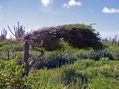 Divi-Divi tree next to a Catus fence
