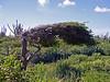 Divi-Divi tree next to a Catus fence