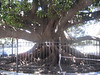 "Huge ficus ""rubber"" tree in one of the parks."