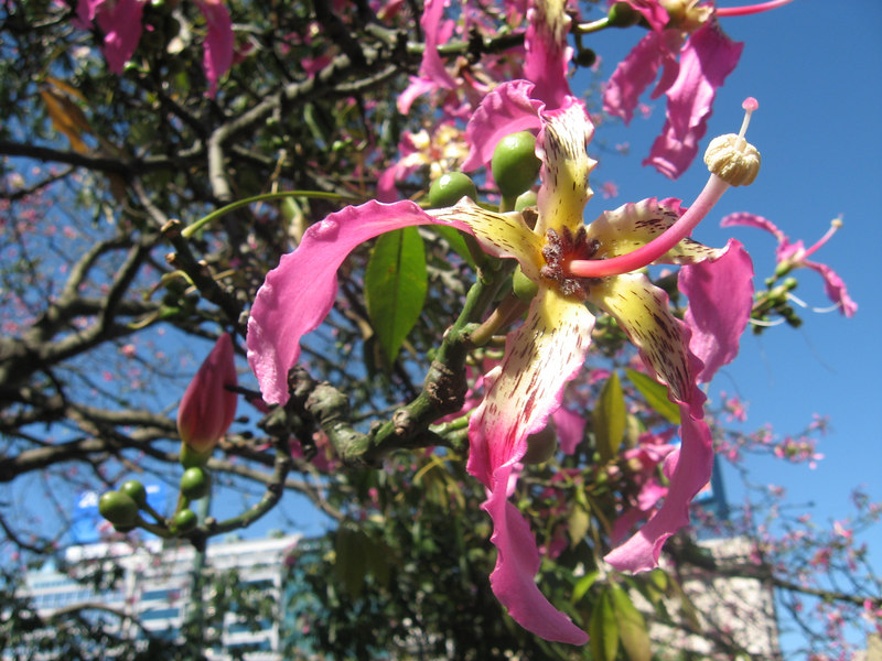 Beautiful flowers on the palo borracho tree. The trunk is shaped a bit like a jug.