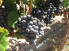 Malbec grapes almost ready for harvest in the Tempus Alba vineyard.