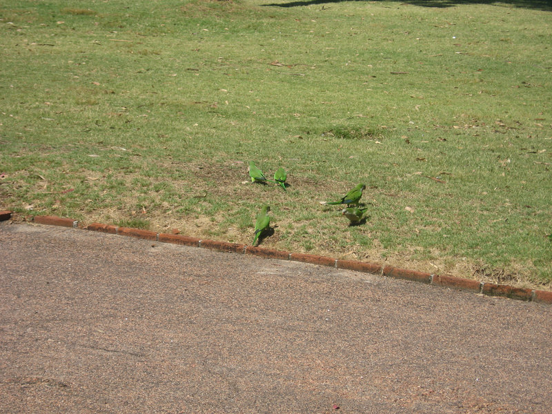 Here are a few of the many small green parrots we saw in and near the Parque Rodó.