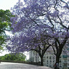 Gorgeous Jacaranda tres in full bloom. We saw some of these in Santiago, but there are just everywhere in Buenos Aires. Just love 'em!