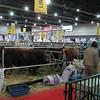 Cows on display at La Rural fair