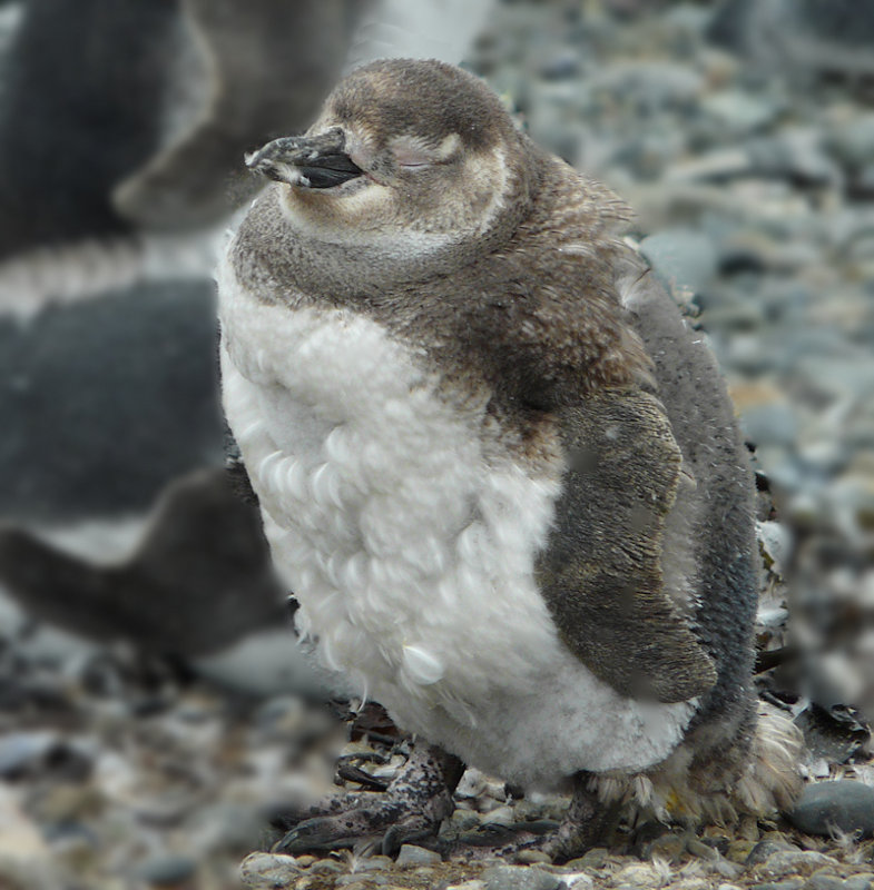 Young penguin