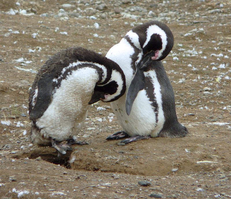 Siesta time for penguins (94388127)