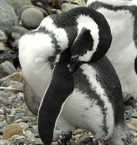 Magellanic Penguin (94388124)